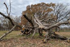 Downed Tree in Fairmount Park to Mr. Wing and Ms. Lander of Philadelphia (019)
