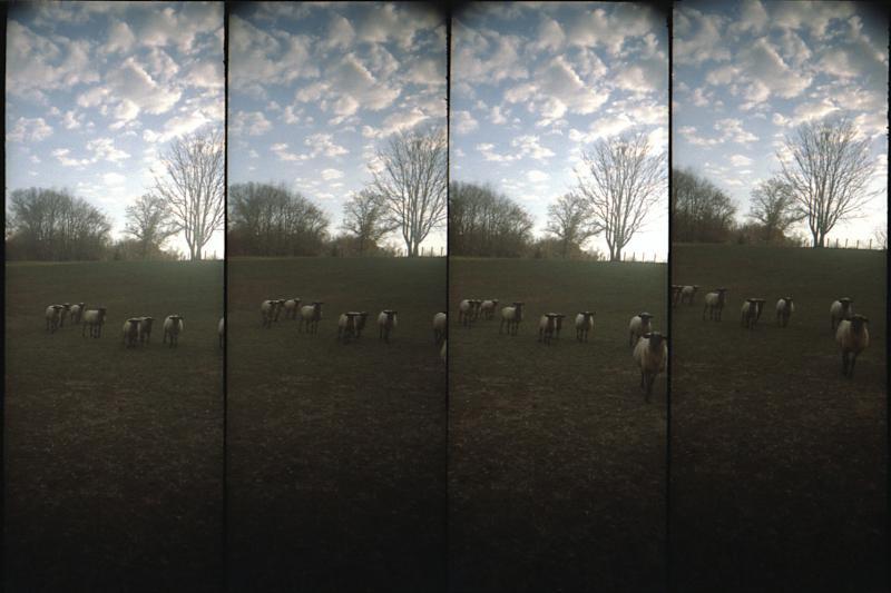 Do Sheep Dream of Little Fluffy Clouds