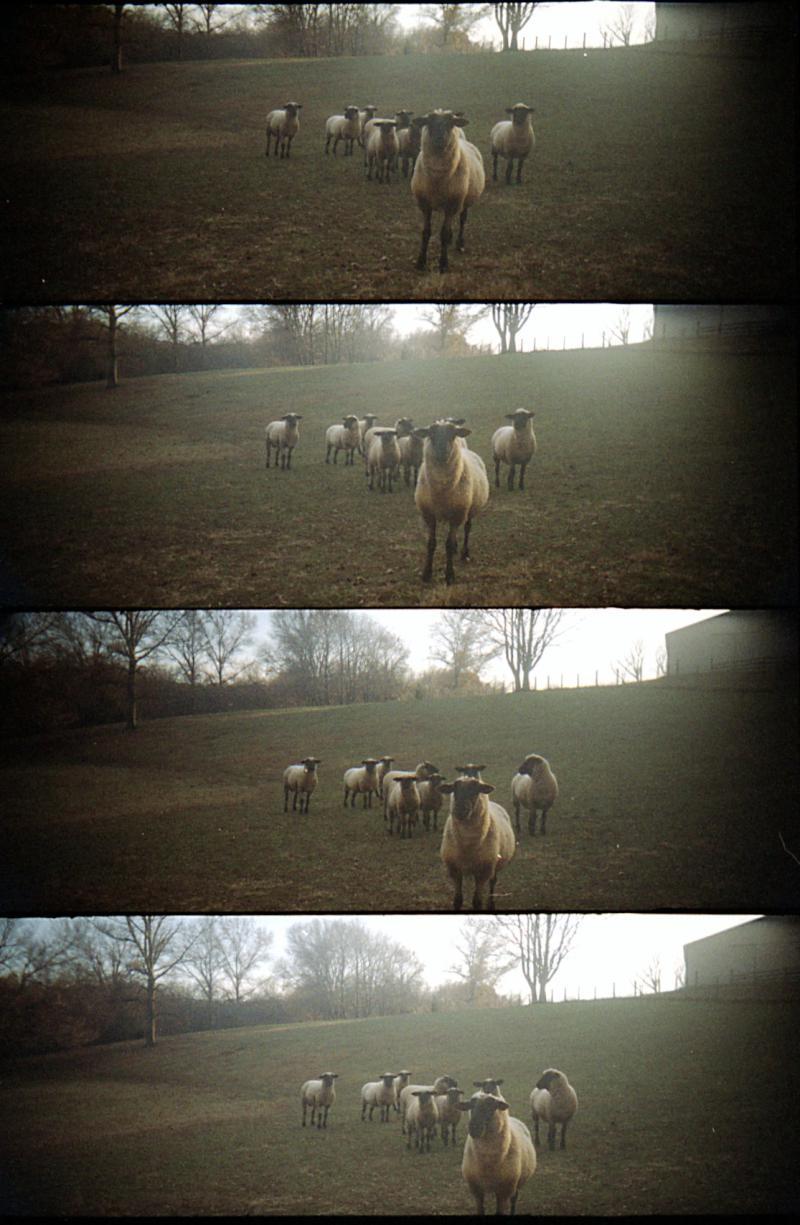 Sheep Leader